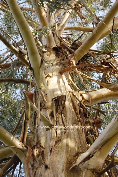 eucalyptus72web